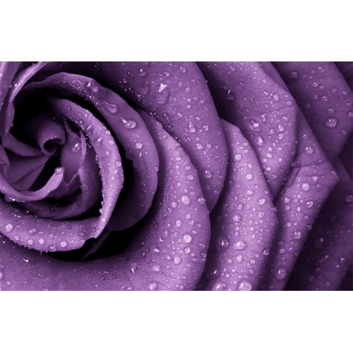 Фототапет модел 28091 лилава роза