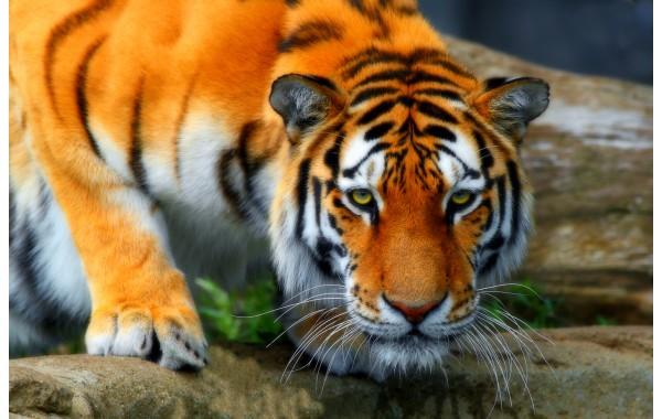 Фототапет модел 28285 тигър